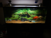 Pacu's first home 175 Gallon tank 5-5-12