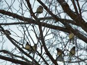 Winter flock of cedar waxwings