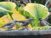 fall visit of cedar waxwings