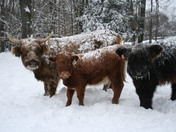Miles Smith Farm Snow Cows