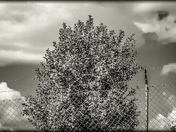 orchard like black and white