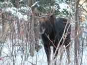 bull moose Rangeley