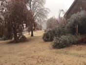 Ice damage to live oaks in Blanchard, OK