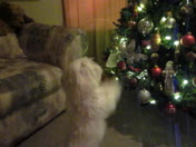 Marley Enjoying The Christmas Tree