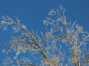 Icy branches against the blue sky