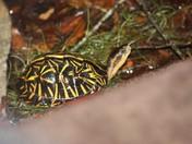 Box Turtle seeks refuge from rain
