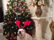 Maze English Bulldog @ Xmas