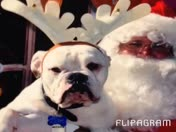 Maze. - English Bulldog photo w/Santa