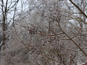 Ice coated Lilac branches: Ice storm GTA 2013