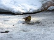 goldfinch coping with winter