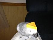 Joli ( African Grey Parrot 0
