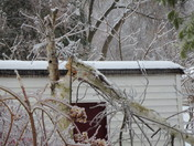 downed birch tree: ice storm 2013