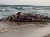 dead whale in Boca Raton