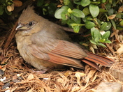 baby female cardinal resting