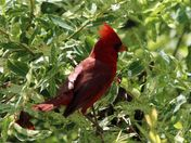 male cardinal in our bush