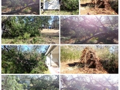 """High Winds"" Topples 100 year old pine"