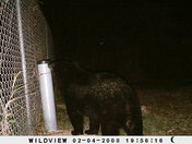 Bear in my backyard