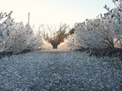 blueberries under ice