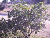 lime tree  frozen