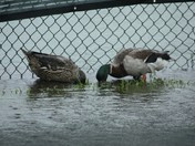 Ducks easily find food at the tennis courts behind Jackie Robinson Stadium, DB