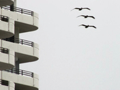 Pelicans pass a condo during a reprieve from the weather