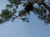 Osprey in Salt Springs trying to rescue its' mate