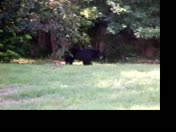 Bear Visits Sweetwater Oaks