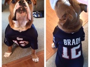 My dog in his patriots jersey