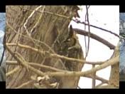 Ankeny Owl Gone!