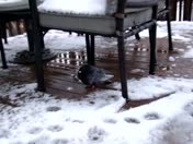 Sad bird under our deck chair for shelter from snow
