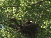 Mom feeds her eaglets