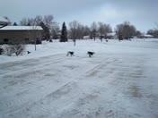 Bedlington Terrier Play Date: Agility on Ice