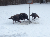 Hungry Turkeys