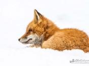 Red Fox Keeping Warm