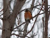 winter robin in the tree