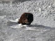 mink head