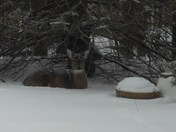 Deer Shelter in my back yard in Elm Grove