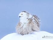 Snowy Owl All Fluffed Up