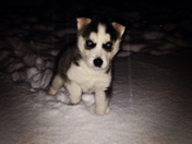 Dakota the husky's first snow!!