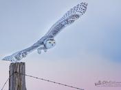 Snowy Owl Wing Span