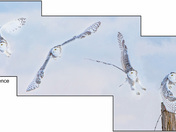 Snowy Owl Flight Sequence