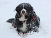 Berner in Snow