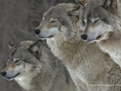 Contented Wolves