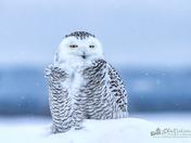 Snowy Owl Fusion