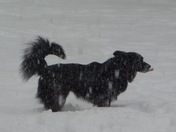 """""""Fenway"""" border collie mix catching the flakes before they hit the ground! Upper"""