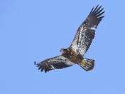 Bald Eagle, juvie