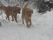 Snowy goldens