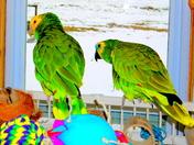 Two Noisy Parrots