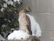 Hawk taking control of bird feeder