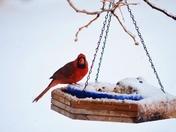 Cardinal on a snowy morning